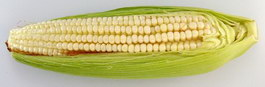 Corn cob texture