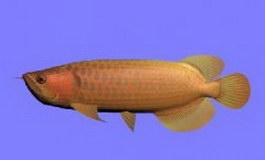 Golden tropical fish 3d model