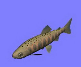 Red spotted masu trout 3d model