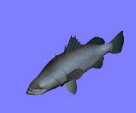 Barramundi fish 3d model