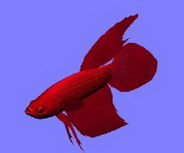 RedBetta fish 3d model