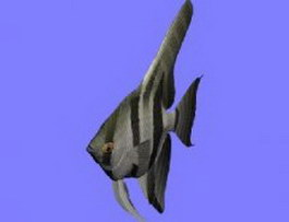 Angel fish 3d model