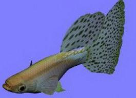 Guppy Blue Grass fish 3d model