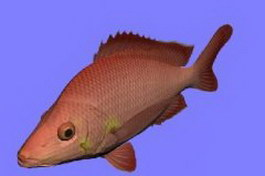 Hump Back fish 3d model