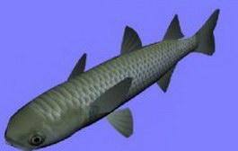 Bora mullet fish 3d model