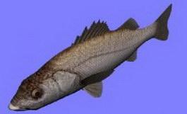 Suzukisea perch/sea bass fish 3d model