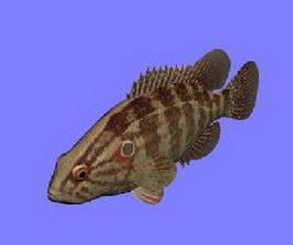Yellow body rockfish 3d model