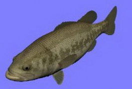 Blackbass fish 3d model