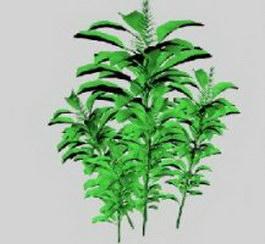 Alpinia galanga 3d model