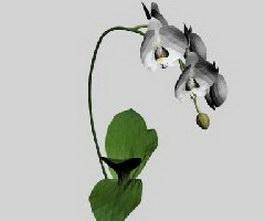 Phalaenopsis 3d model