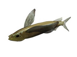 Parexocoetus brachypterus 3d model