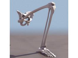 Leg bones and pelvis 3d model