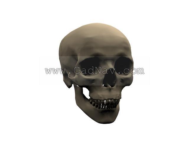 Human Skull Cranium 3d Model 3ds Max Files Free Download