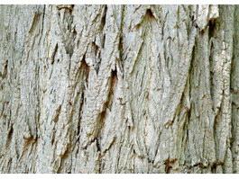 Delavay oak bark texture