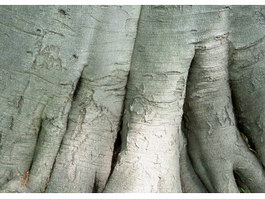 Big trunks of banyan tree texture