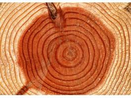 Tree annual ring texture