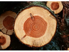 Tree ring with scar texture
