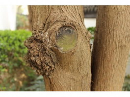 Tree burl and branch knot texture