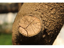 Saw notch on tree texture