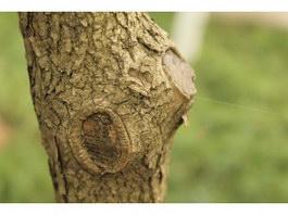 Scar and peel burl texture