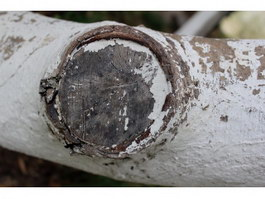 Bark of whitewashed texture