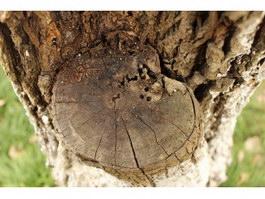 Rotten branch knot texture