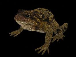 Common garden frog 3d model