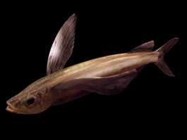 Parexocoetus flying fish 3d model