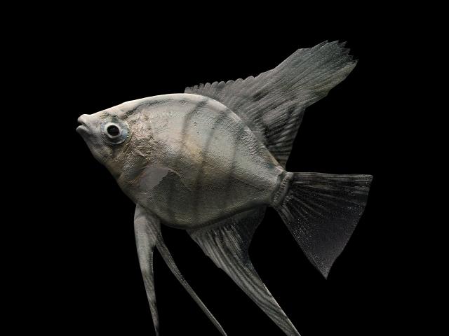 Pterophyllum scalare freshwater angelfish 3d rendering