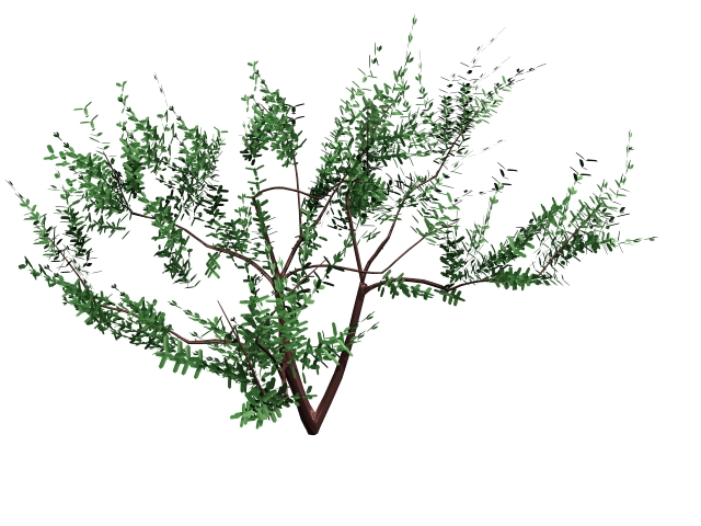 Olea europaea tree 3d model