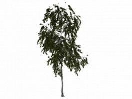 American aspen tree 3d model