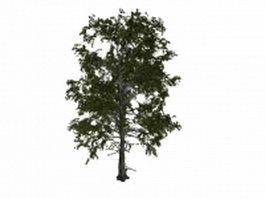 European aspen tree 3d model