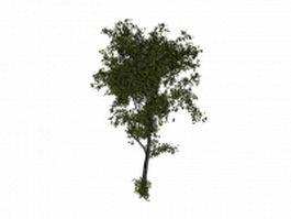 White basswood tree 3d model