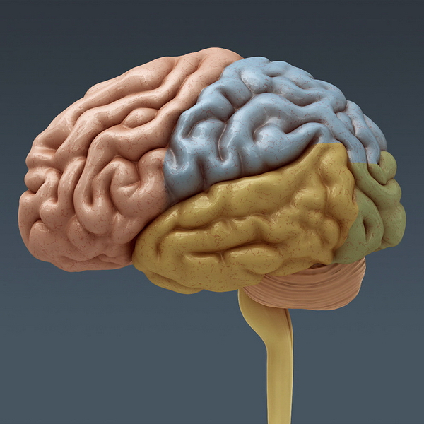Location Of The Human Cerebrum 3d Model 3dsmax Files Free Download