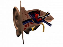 Cross section of human ear 3d model