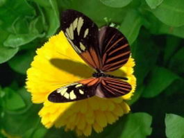 North American butterfly 3d model