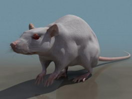 Laboratory rat 3d model