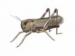 American locust 3d model