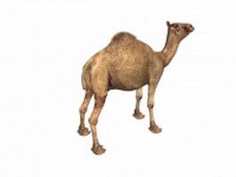 Indian camel 3d model