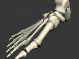 Foot bones anatomy 3d model