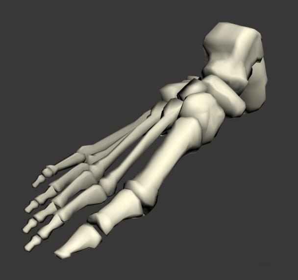 Foot bones anatomy 3d model 3ds max files free download - modeling ...