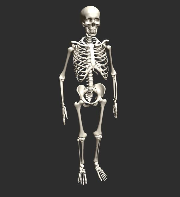human skeleton 3d model 3d studio,3ds max,fbx,object files free, Skeleton