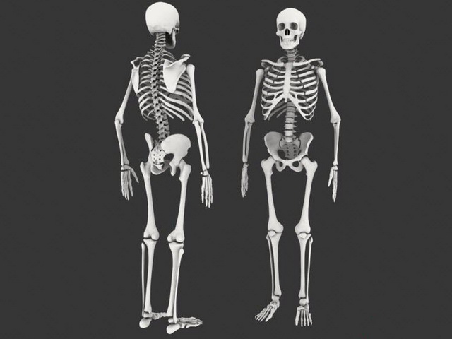 male human skeleton 3d model 3ds max files free download, Skeleton