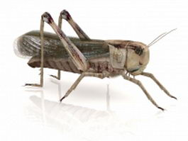 American grasshopper 3d model