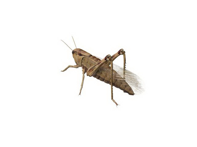 Immature grasshopper 3d model