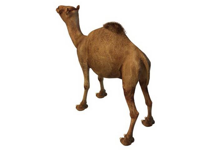 Egyptian camel 3d model