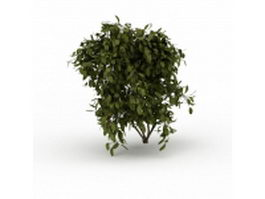 Boxwood shrub 3d model