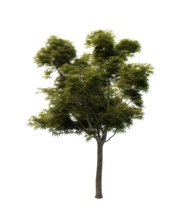 Sycamore Maple Tree 3d Model 3ds Max Files Free Download