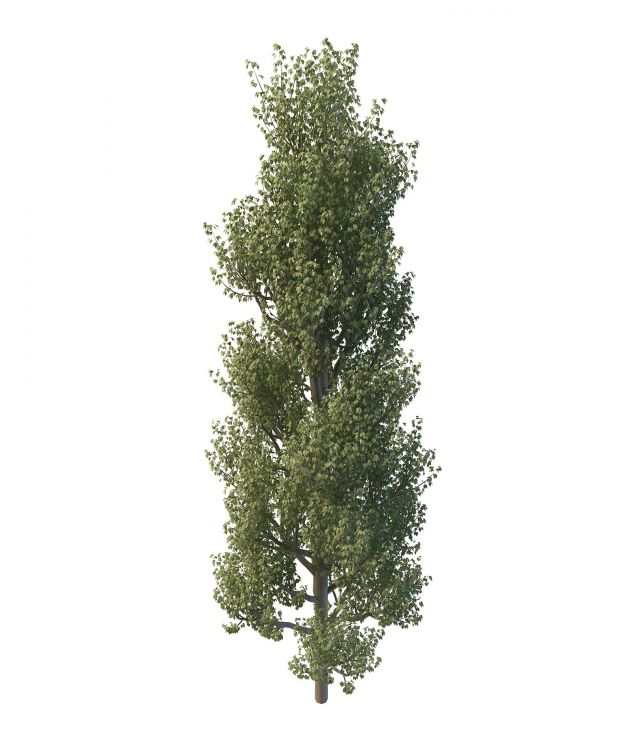 Common Aspen Tree 3d Model 3ds Max Files Free Download