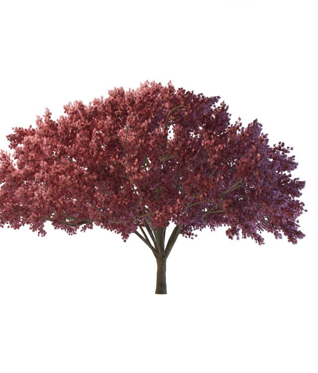 Dark Red Maple Tree 3d Model 3ds Max Files Free Download